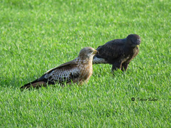 Red kite and buzzard together