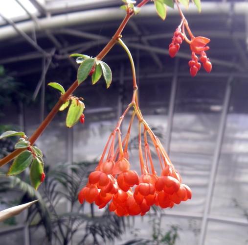 Begonia foliosa 25902613088_145aff0892_o
