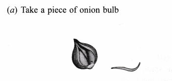 ncert-class-9-science-lab-manual-slide-of-onion-peel-and-cheek-cells-2
