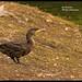 Cormorant .