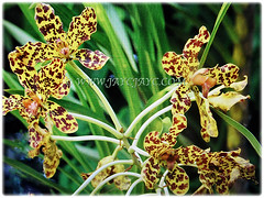 Blooms and strap-like leaves of Grammatophyllum speciosum (Giant Orchid, Tiger Orchid, Sugar Cane Orchid, Queen of the Orchids), Feb 27 2018