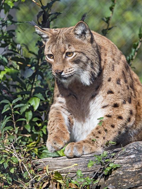 Lynx getting up, Nikon D5, AF-S VR Zoom-Nikkor 200-400mm f/4G IF-ED
