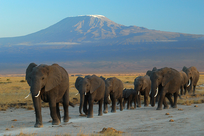 Elephants with Mount Kilimanjaro in the background.