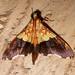 Crambidae: Agrotera semipictalis