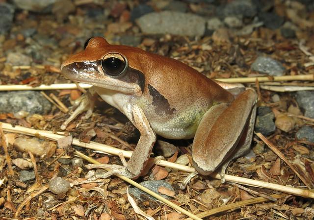 Bridled Rocket Frog (Litoria nigrofrenata)