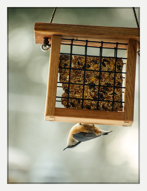 nuthatch don't give a hoot