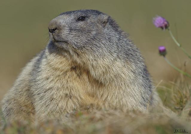 alpine marmot, Nikon D3, Sigma APO 500mm F4.5 EX DG HSM