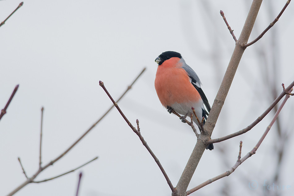 Leevike, Pyrrhula, Eurasian, Bullfinch, Northern, Bull, finch, Common, Estonia, Kaido Rummel