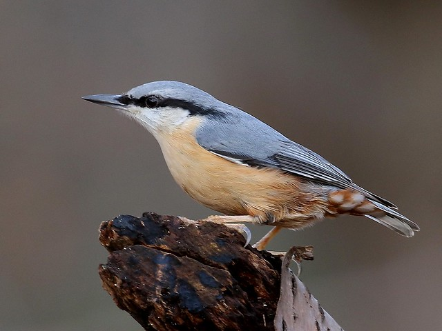 Nuthatch - Bossenden IMG_1295
