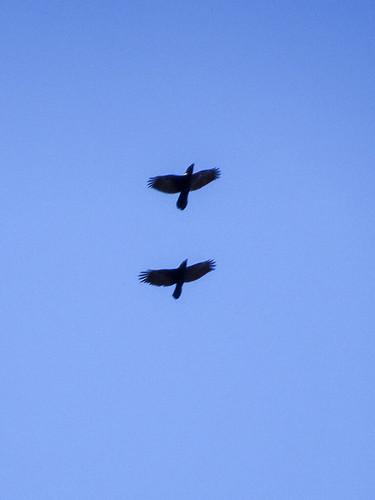 Two ravens, 2017 Sep 02 -- photo 1