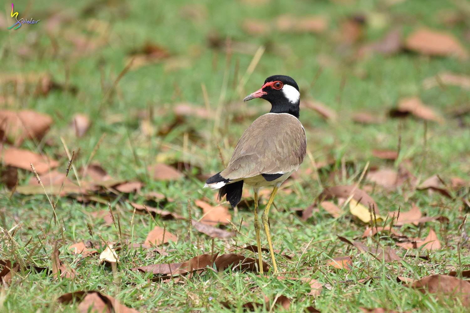Red-wattled_Lapwing_1486