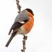 Male Bullfinch.......