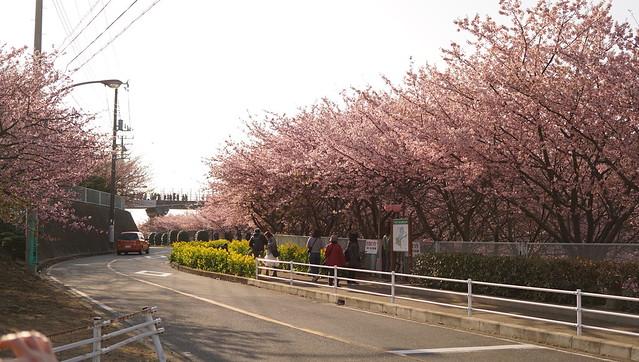 DSC07080三浦海岸桜まつり