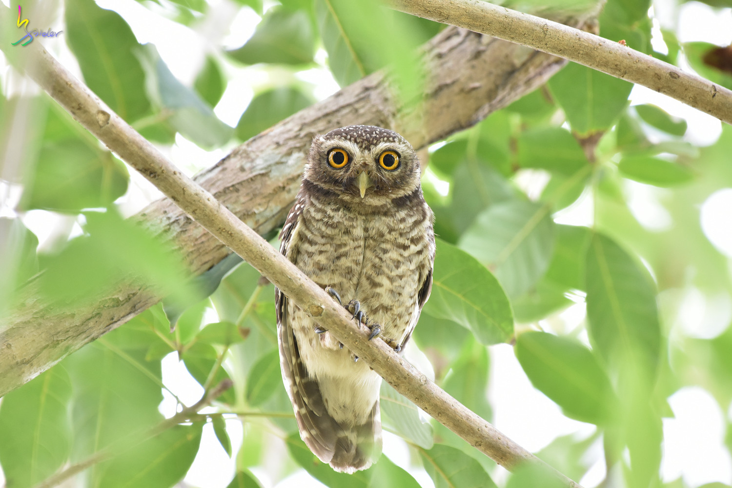 Spotted_Owlet_2376