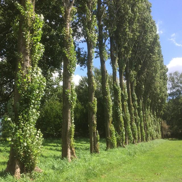 Rij bomen met begroeide stam