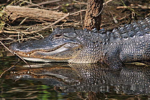 American Alligator 20180209