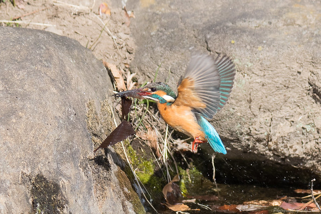 20180212-kingfisher-DSC_9033