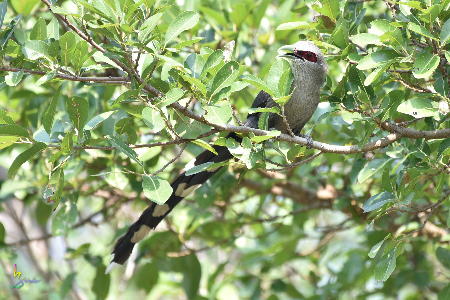 Green-billed_Malkoha_7820