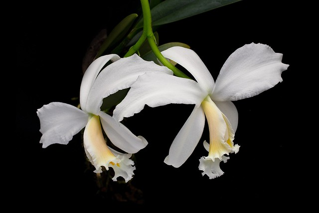 Laelia jongheana alba, Canon EOS 6D, Canon EF 50mm f/2.5 Macro