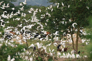 Cattle Egrets (Bubulcus ibis) mostly