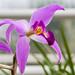 Orchid RHS Wisley 08 February 2018 (44)