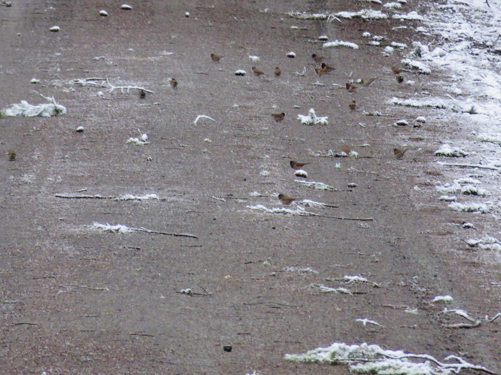 Junco invasion