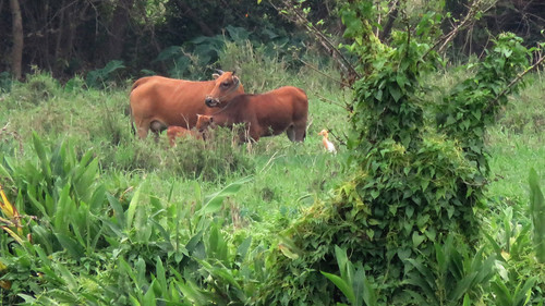 Fig2_Cattle Egret