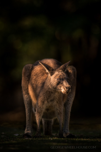 Low-Light Kangaroo