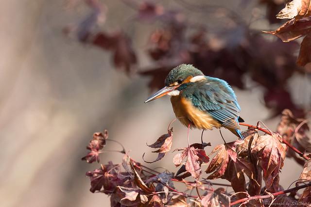 20180203-kingfisher-DSC_6855