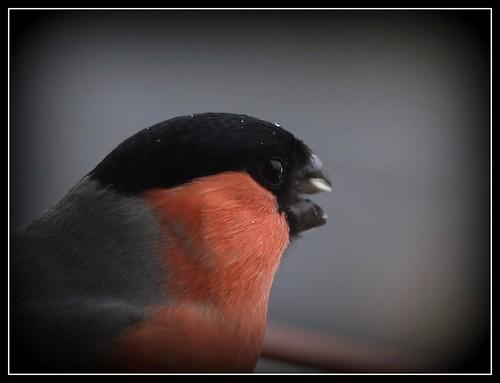 les visiteurs à plumes sauvages - 3 26264353538_e9e544b8f8