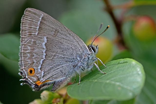Favonius quercus - the Purple Hairstreak