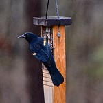 Red-winged+Blackbird+%28male%29