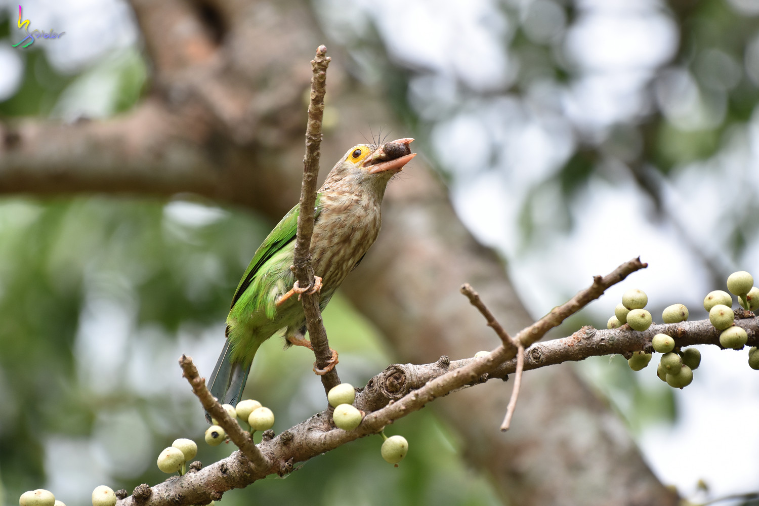 Lineat_Barbet_2187