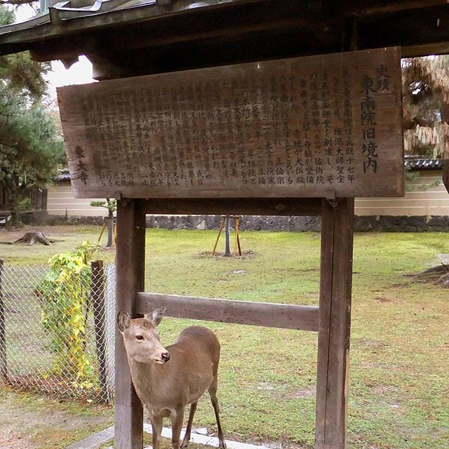 Photo:奈良公園には野生の鹿がたくさん居ますが、どの鹿も観光客に慣れており、カメラを向けると逃げずに写真に収まってくれます。 There are many wild deers in Nara Park, but each deer is accustomed to tourists, and if you point the camera, it will fit in the photo without escaping. #鹿 #奈良公園 #東南院旧境内 #野生 #東大寺 #南大門 #deer #wild By teizoh