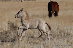 Two to Three week old foal from the Virginia Range.