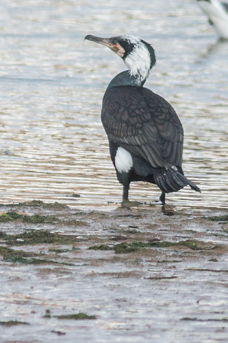 Great Cormorant - race sinensis