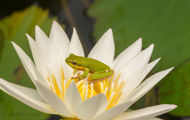Frog on a Waterlilly