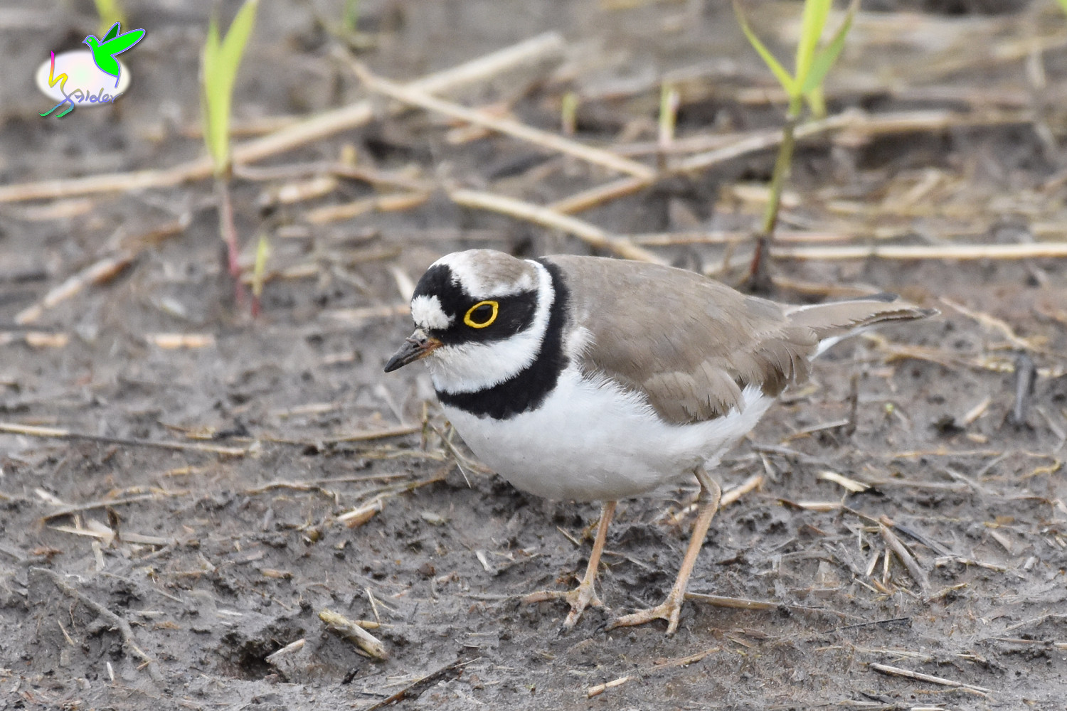 Little_Ringed_Plover_9641