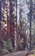 Avenue of the Giants - Redwood Highway - California
