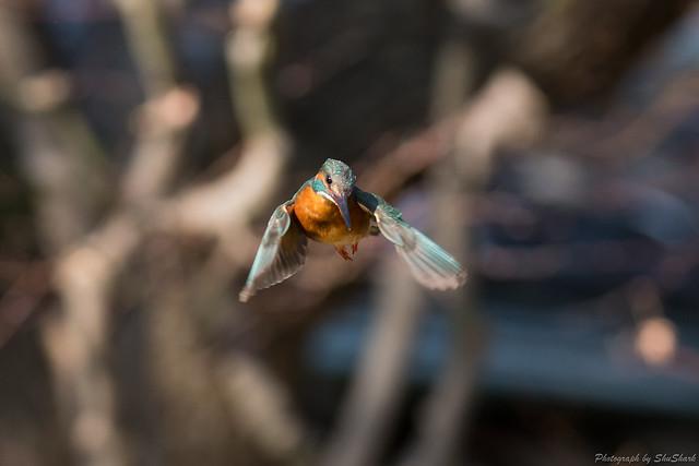 20180127-kingfisher-DSC_6044