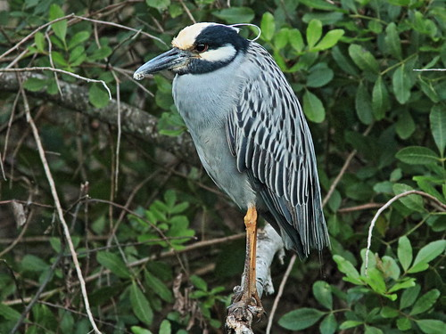Yellow-crowned Night-Heron 01-20180206