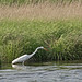 Great White Heron - Sandy Hook 08
