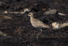 Pacific Golden Plover at Mirbat S24A6675 by grebberg