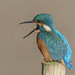 Kingfisher-