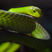 Small photo of Eastern green mamba (Dendroaspis angusticeps)