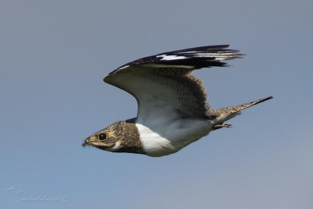 Ñacundá (Nacunda Nighthawk) Chordeiles nacundaÑacundá (Nacunda Nighthawk) Chordeiles nacunda