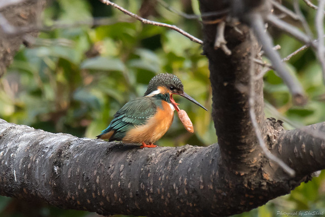 20180203-kingfisher-DSC_6821