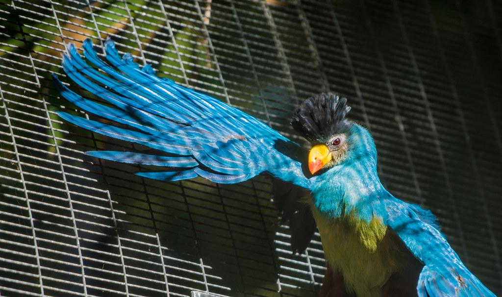 Congo Peafowl_17