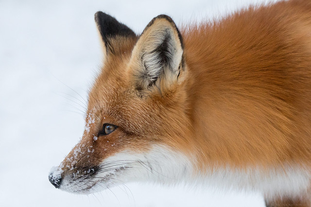 Red Fox with snow nose