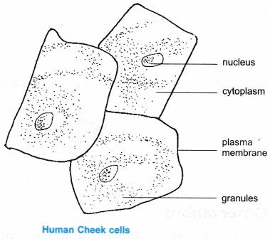 Ncert class 9 science lab manual slide of onion peel and cheek ncert class 9 science lab manual slide of ccuart Image collections